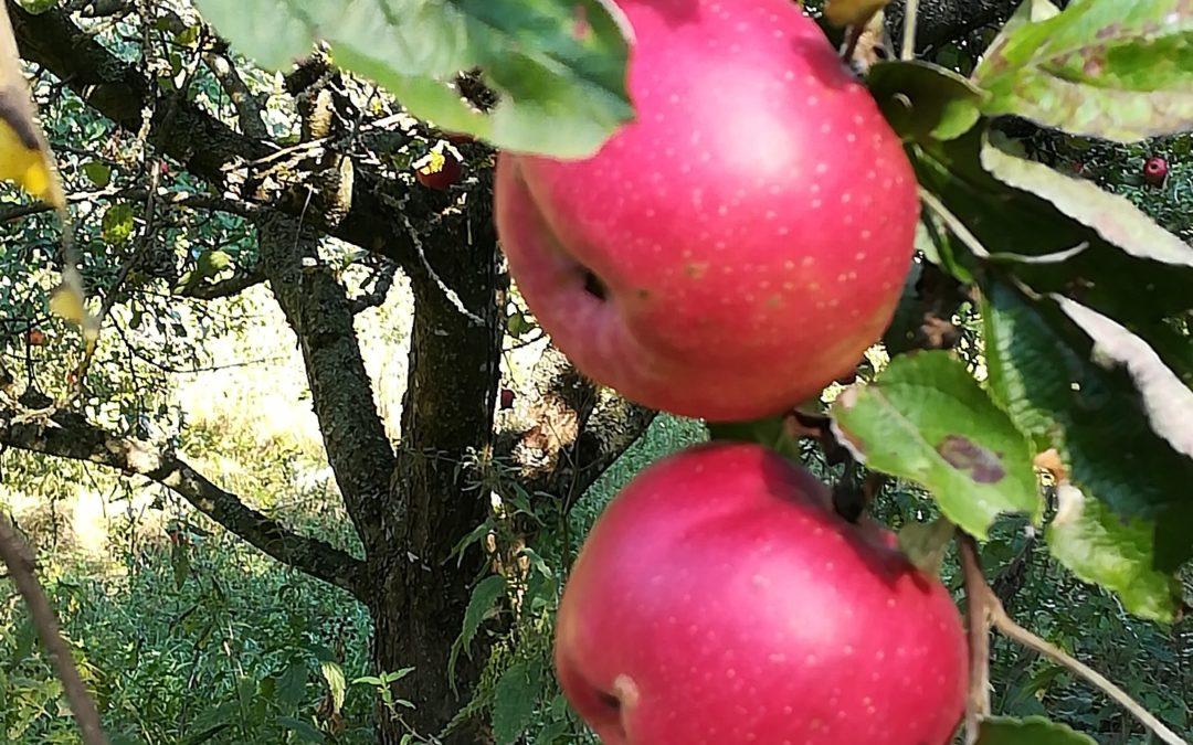 Allergie und Apfel
