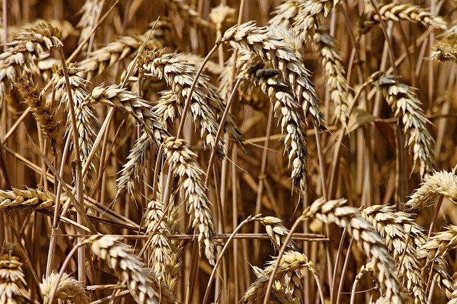 Schimmel und Getreide – ziemlich beste Freunde